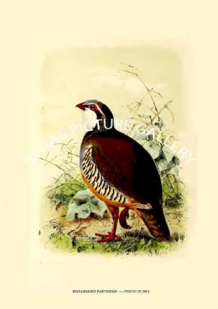 RED-LEGGED PARTRIDGE ---- PERDIX RUBRA